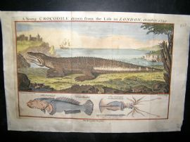 A Young Crocodile drawn from the life in London 1739 Antique Hand Col Print.